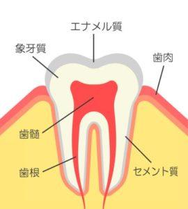 歯の中はどうなっているの?~歯の構造について~